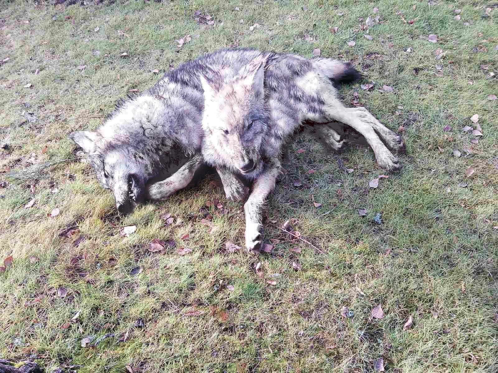 Охота на волка