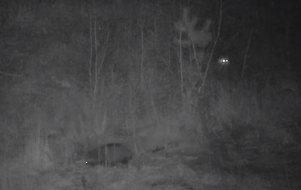 Енот против лисицы