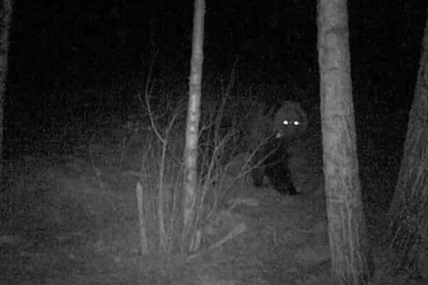 Медведь 2020