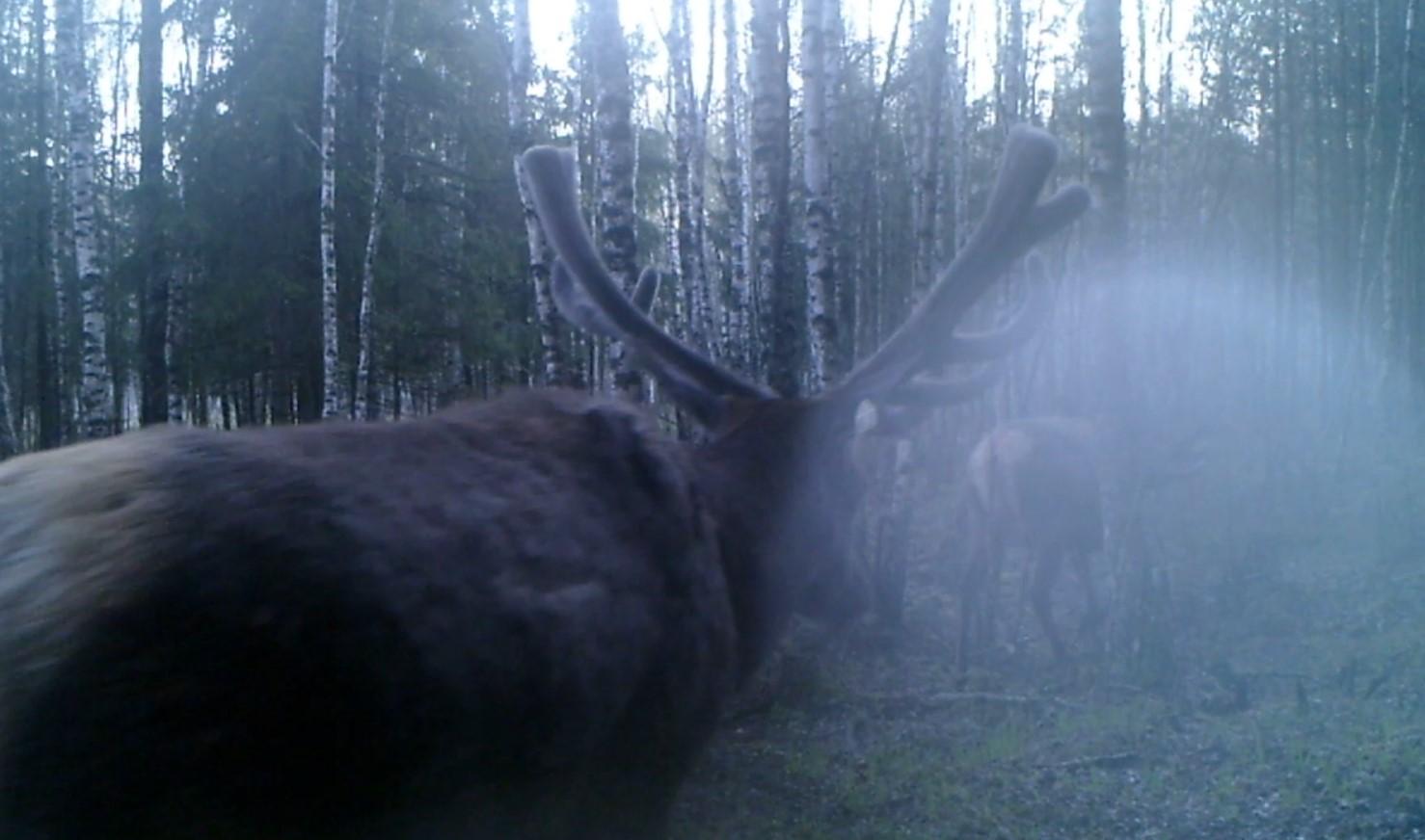 Олени утром в лесу