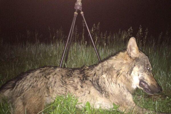 Борьба с хищником. Волк, июнь 2020